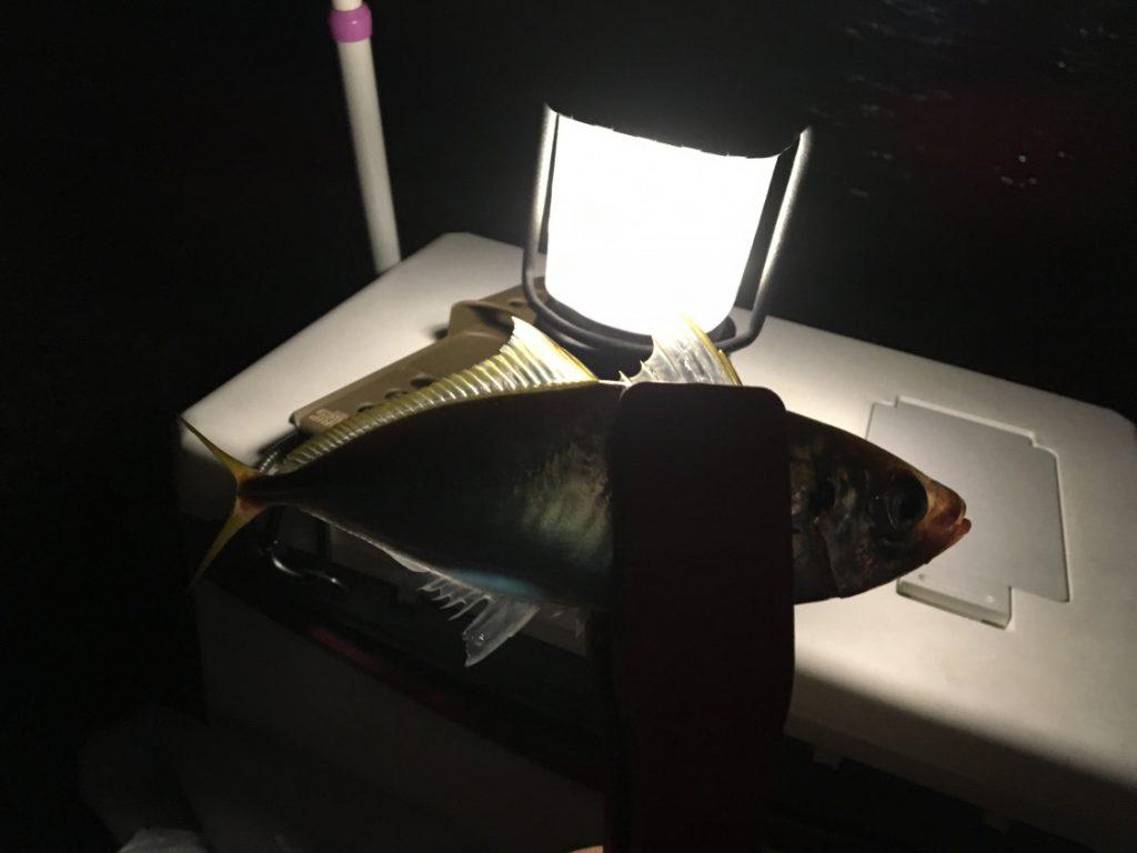 2018-07-26 食コン 夜中に釣れた22cmのアジ