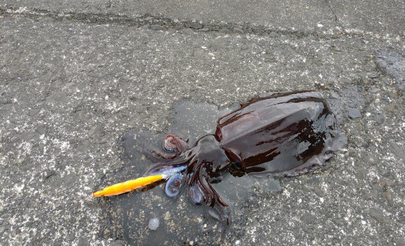 須賀の浜漁港(上浦漁港)エギング アオリイカ釣れた