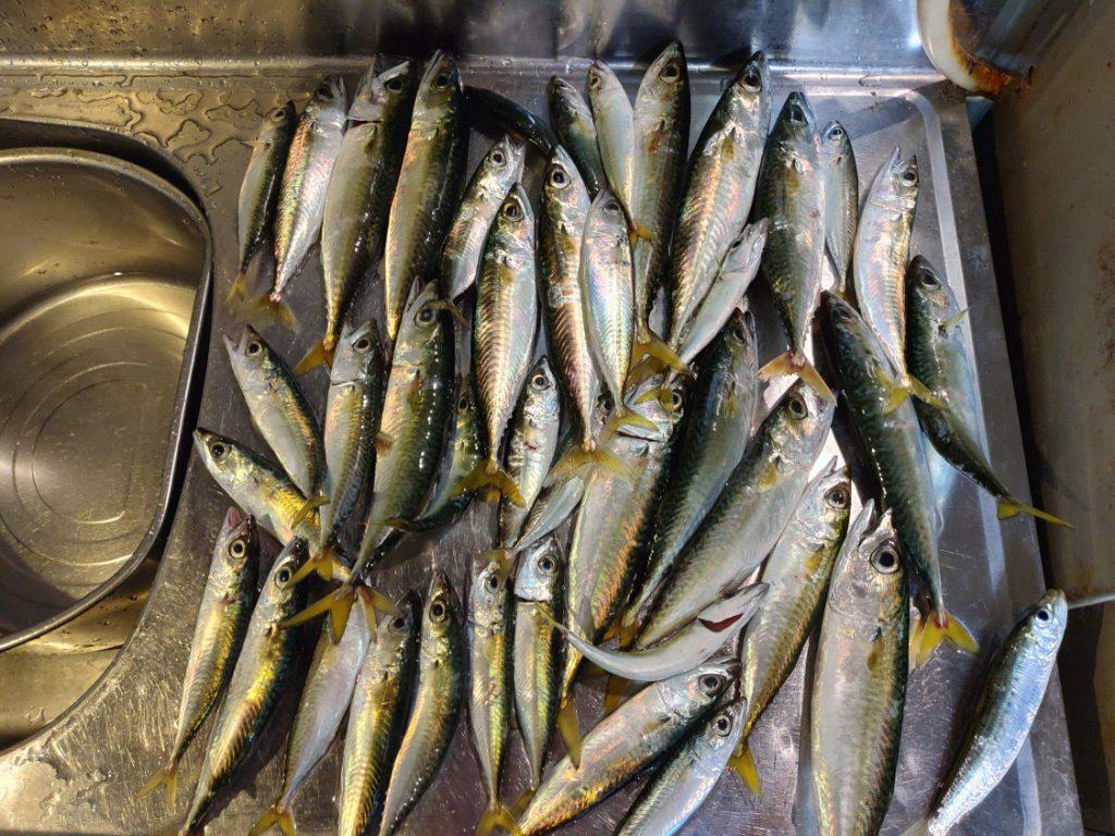 2019-08-08食コン サバの釣果