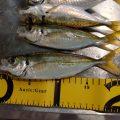 泉佐野食品コンビナートで深夜のサビキ釣りは良型アジ連発