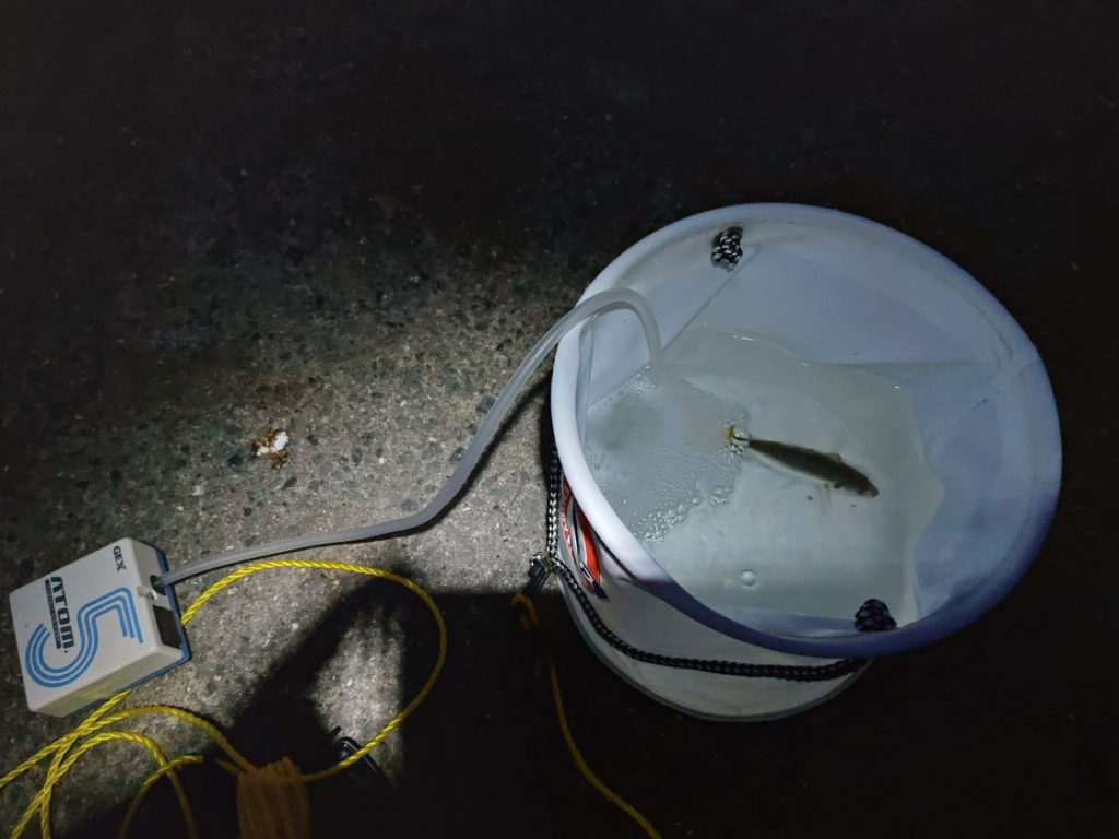 2019-08-26食コン ノマセ釣り用のアジ